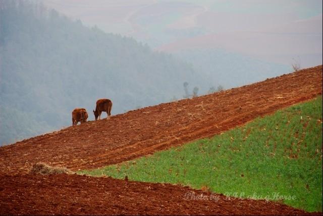 dongchuanredland redland cow green field