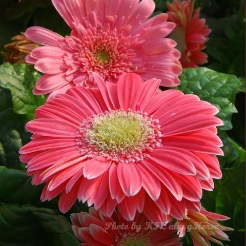 Pink Flower FlowerShow2008 Sunny