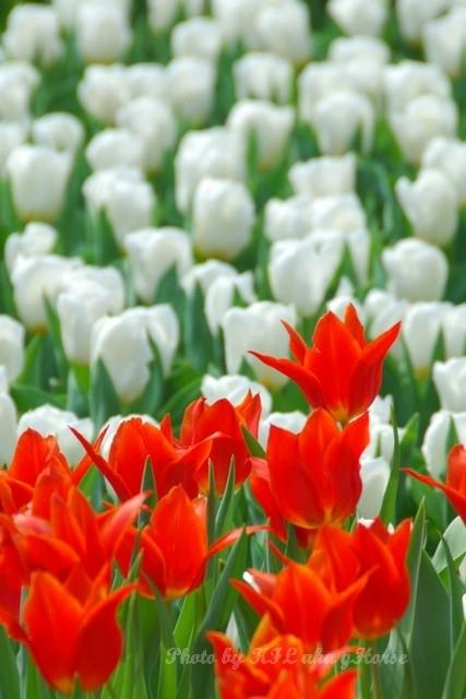 Orange Tulip White Flower Flowershow2008