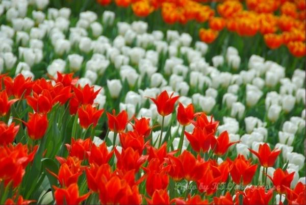 Red Orange Tulip White Flower Flowershow2008