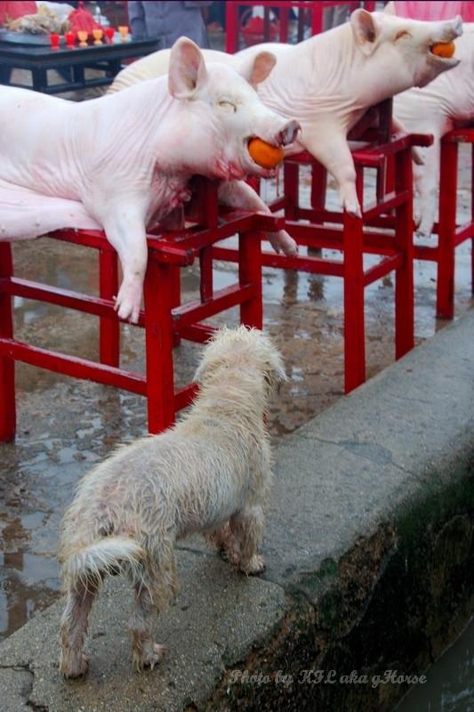 Sanmei Worship Pig Dog