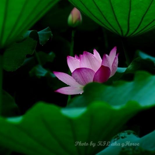 flower lotus shenzhen honghugarden