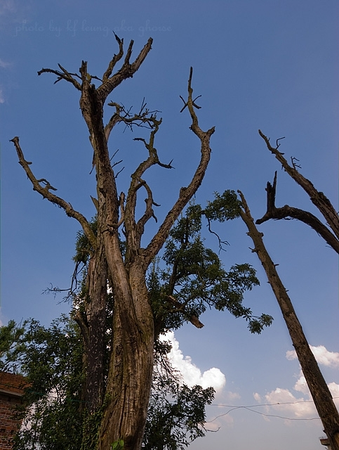 Old Tree Blue Sky XiaoDongJiang