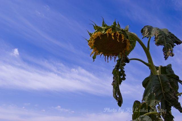 Autumn Color, blue, Qia Cha Er Tu, sky, Sun flower