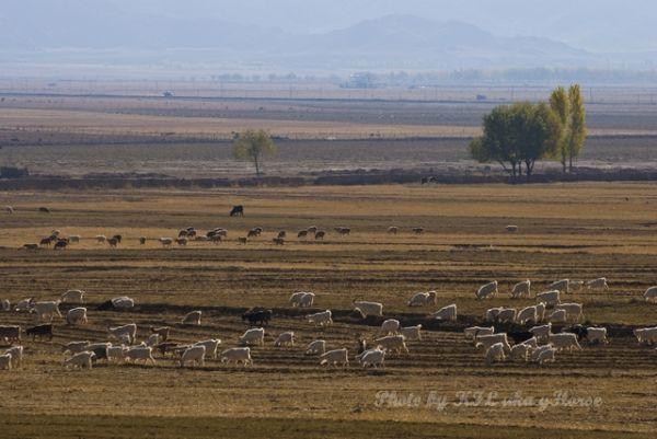 Autumn Color, Sheep, wild duck lake, Xin Jiang