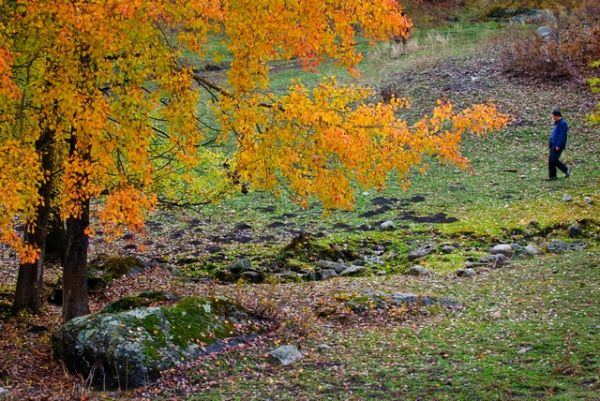 autum, leaf, tree, Xin Jiang, yellow