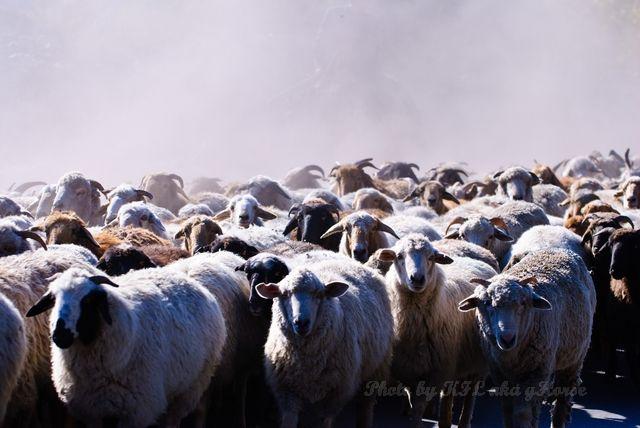 新疆, Xin Jiang, liu huang gou, Sheep, sheperd, 琉磺沟