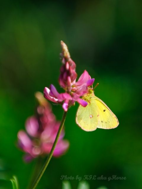 新疆, Xin Jiang, flower, butterfly, liu huang gou, 琉