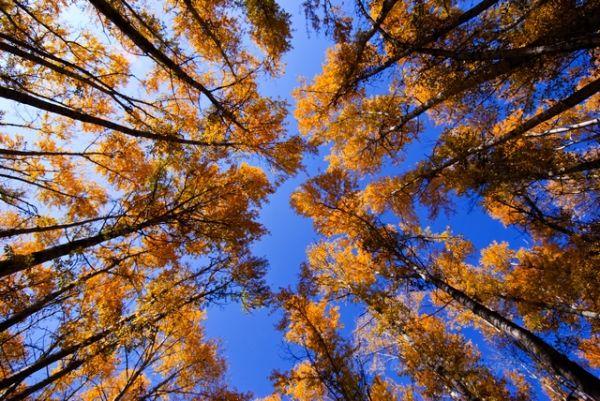 新疆, Xin Jiang, tree, yellow, autum, color, liu hua