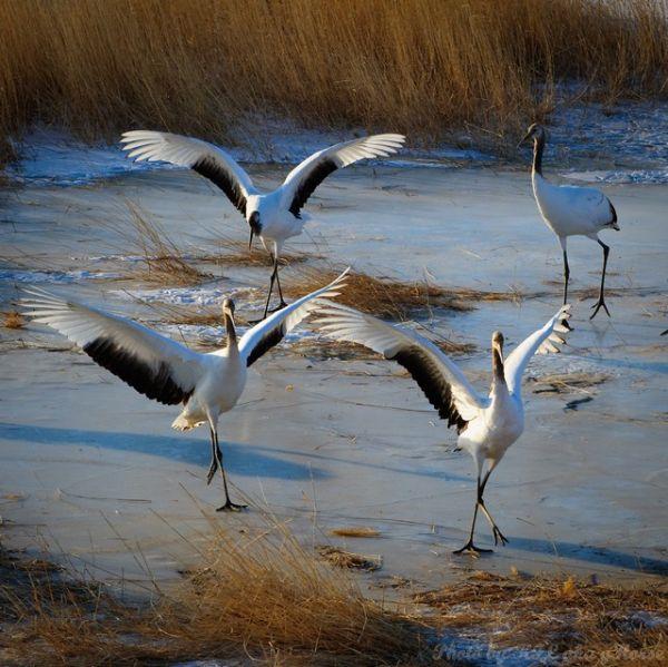 birds, xiang hoi, Jilin, 吉林, 向海, 鸟