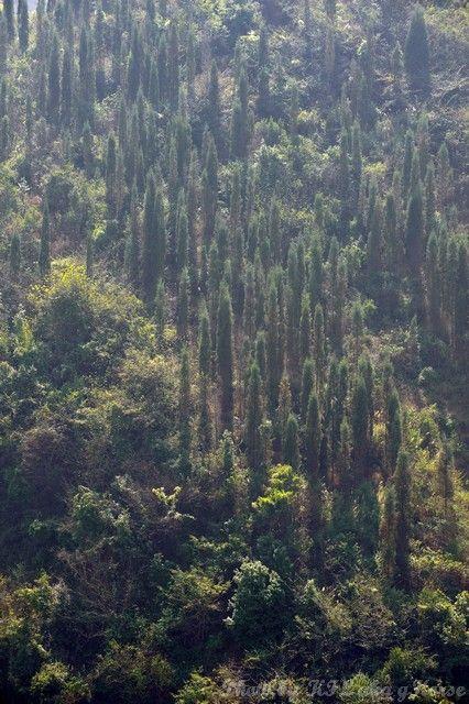 云南, 罗平, Yun Nam, Lou Ping, tree, green