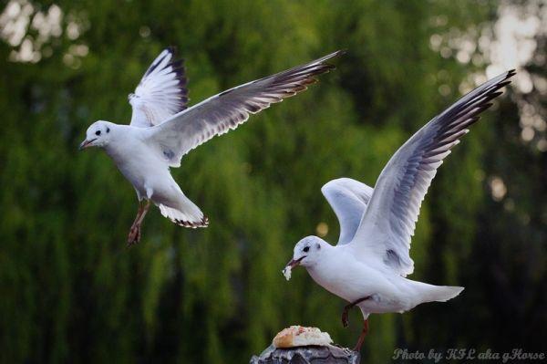 云南, 昆明, Yun Nam, Kun Ming, Seagull, fly