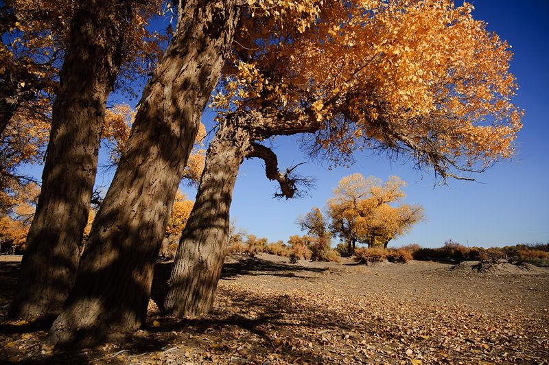 Erjinaqi, Inner, Mongolia, tree, yellow, leaf, blu
