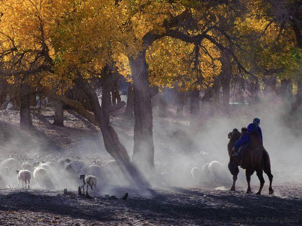 Erjinaqi, Inner, Mongolia, tree, yellow, leaf, She