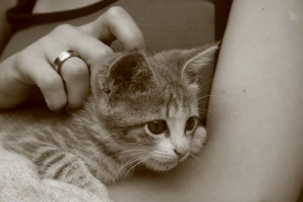 Armenian Kitten