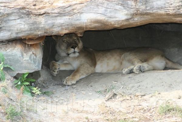 Une lionne somnolente dans son repère