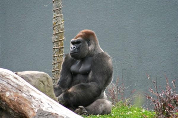 Un gorille est assis et semble attendre