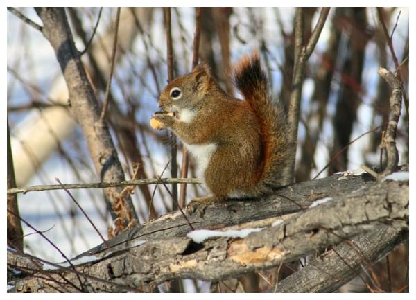 Écureuil qui mange sa peanut