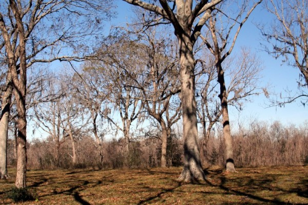 Trees at Brazos Bend State Park