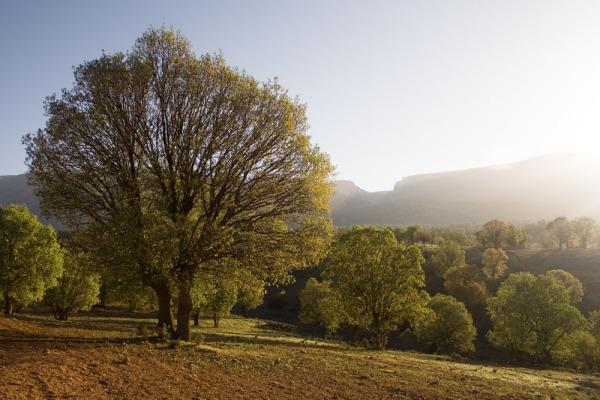 Sunlight on an Oak tree