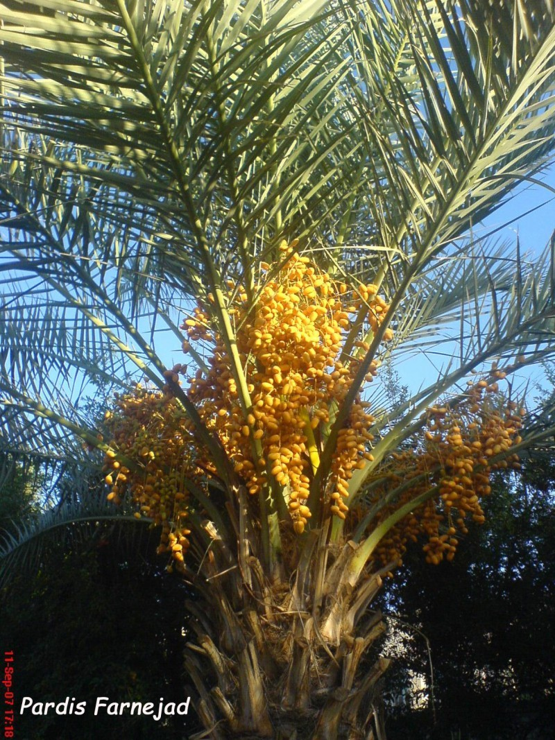 A Date Palm in Yazd!