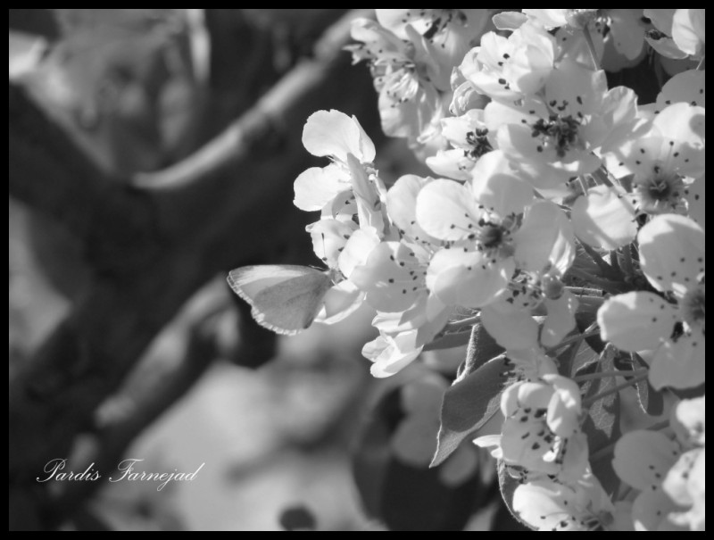 .:: A Butterfly & Pear Blossoms ::.