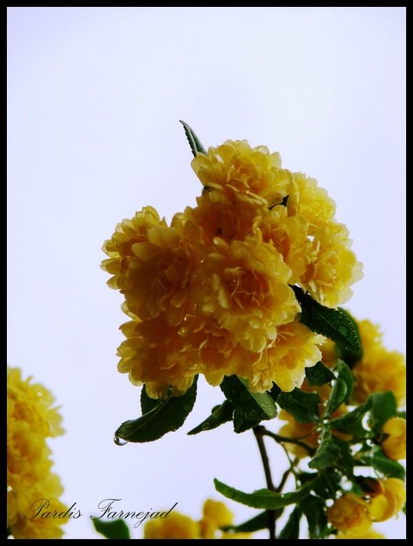 .:: Yellow Flowers ::.