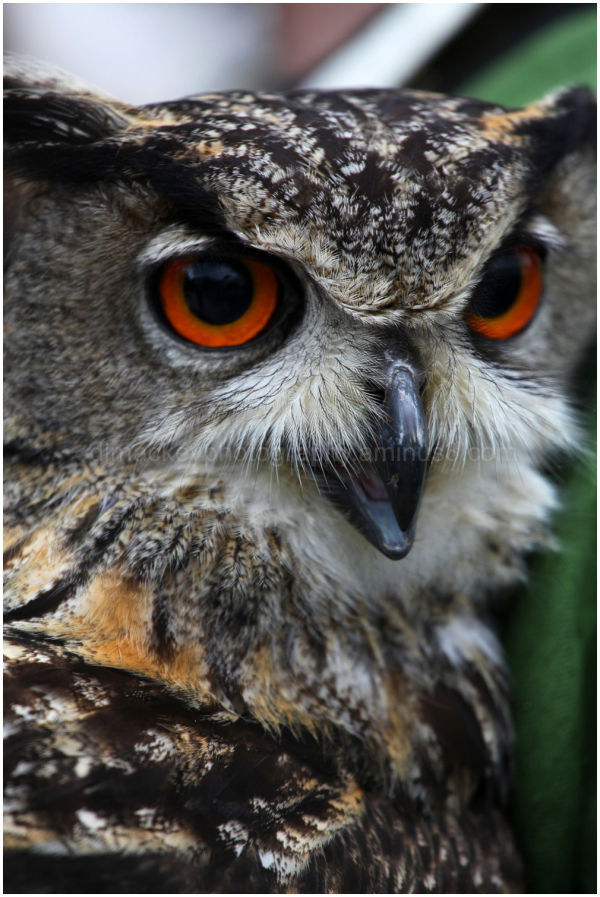 The Owl, Belgium