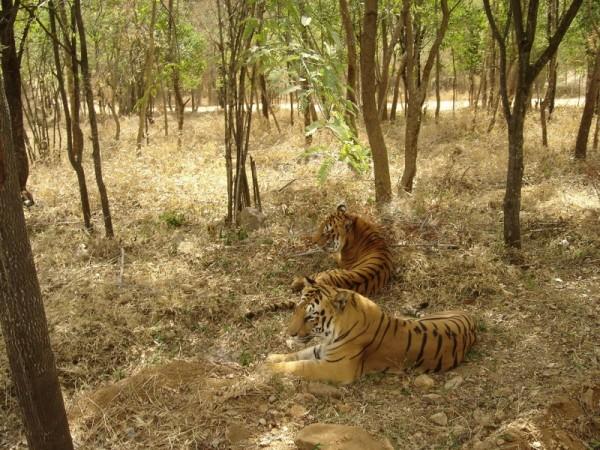Look Ma, Tigers..!!