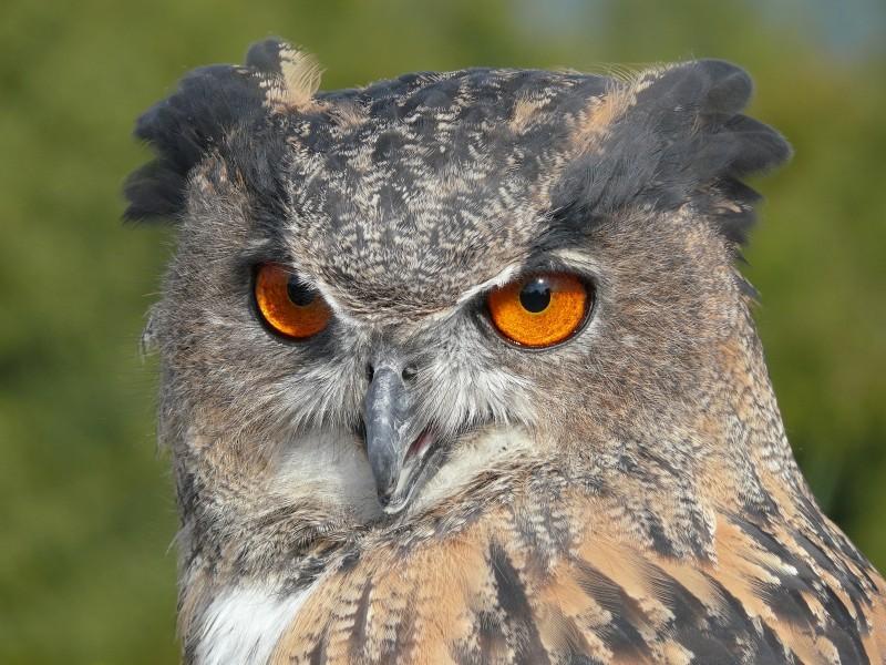 Eule, Owl