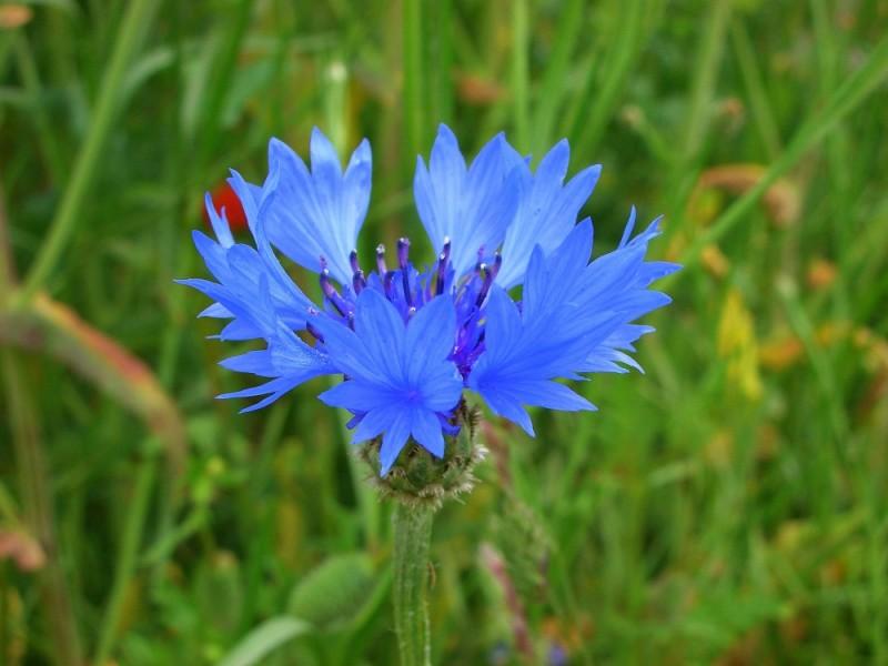 Blue  Flower - Kornblume