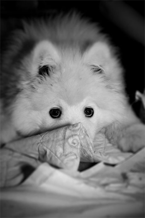 Samoyed Snowy Malinda Kuo Pet Dog
