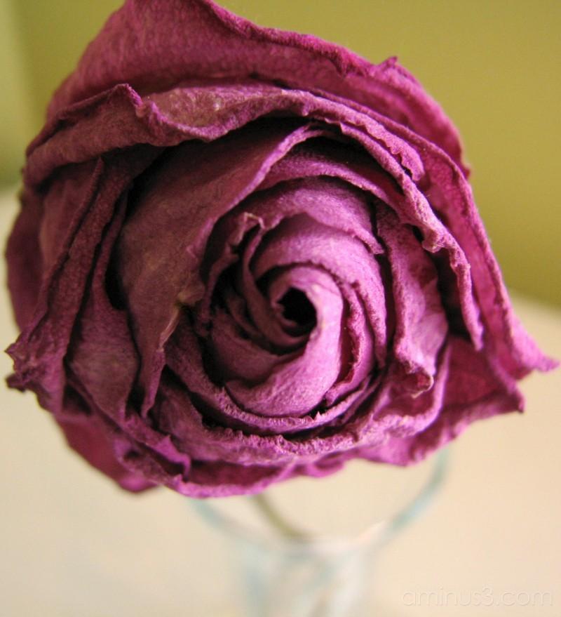 dried purple rose