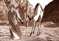 Sharm the bedouin and his camel