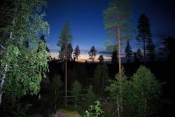 Pine Forest Sweden