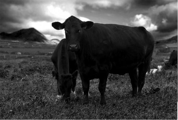 Andrea Auf dem Brinke, black bulls, Ireland