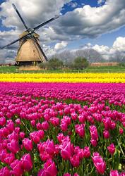 tulips, flowers, field, mill, holland
