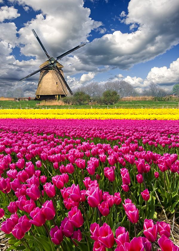 tulips, flowers, field, mill, holland