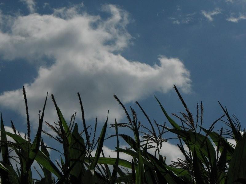 The sky over corn field