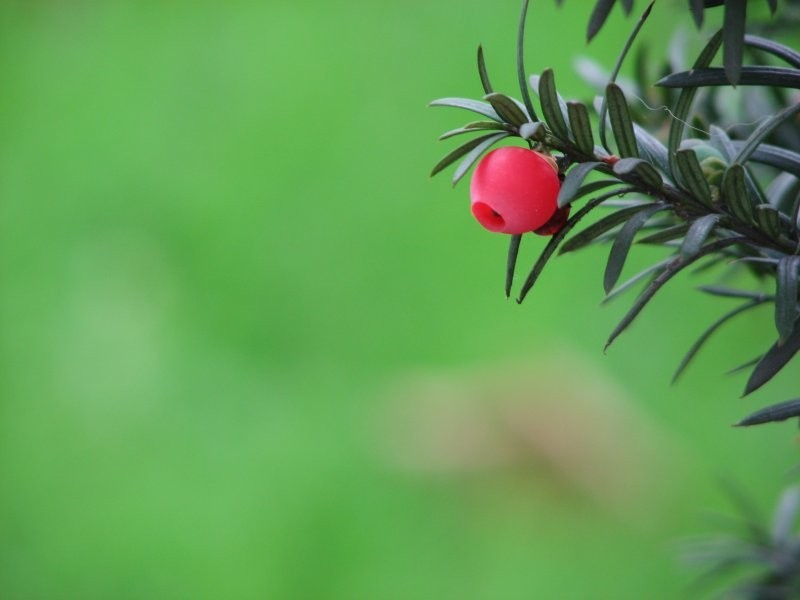 A red fruit in green setting