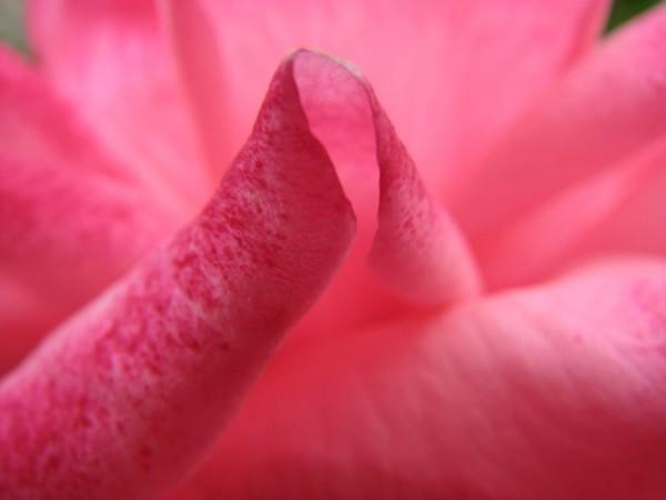Soft, rosy petals