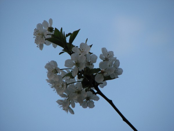 The flowers of a cherry-tree