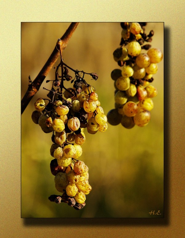 winegrape