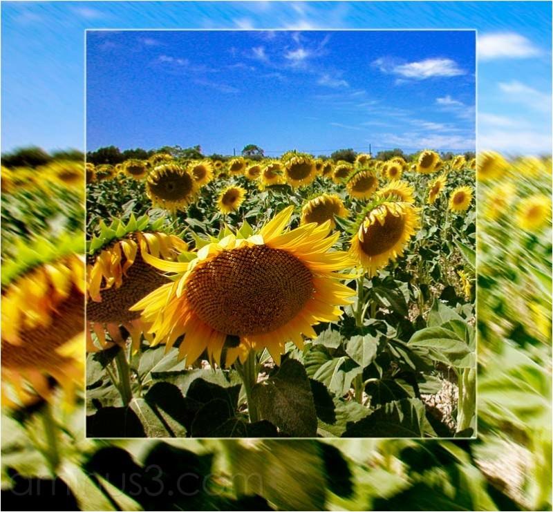 Sunflower field, Sonnenblumen