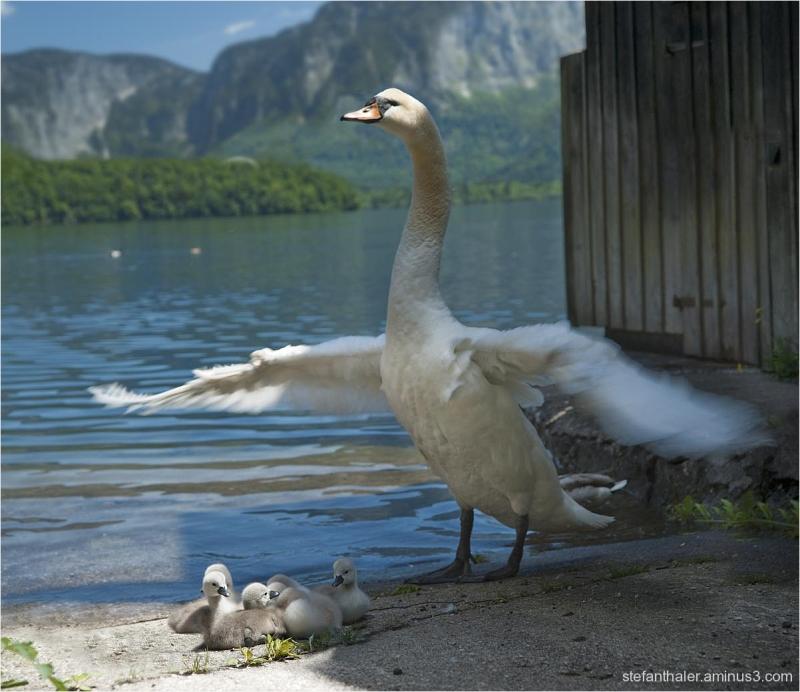 Schwanenfamilie, junge Schwäne, Swans, offspring