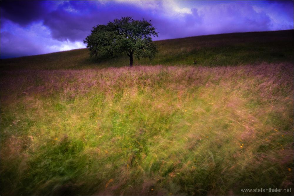 Apfelbaum, appletree, windy day , Wind