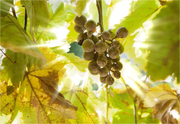 Weintraube, Herbst