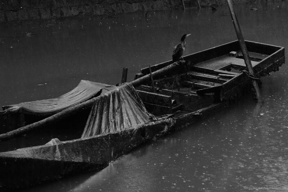 Cormorant roosts on sunken boat.