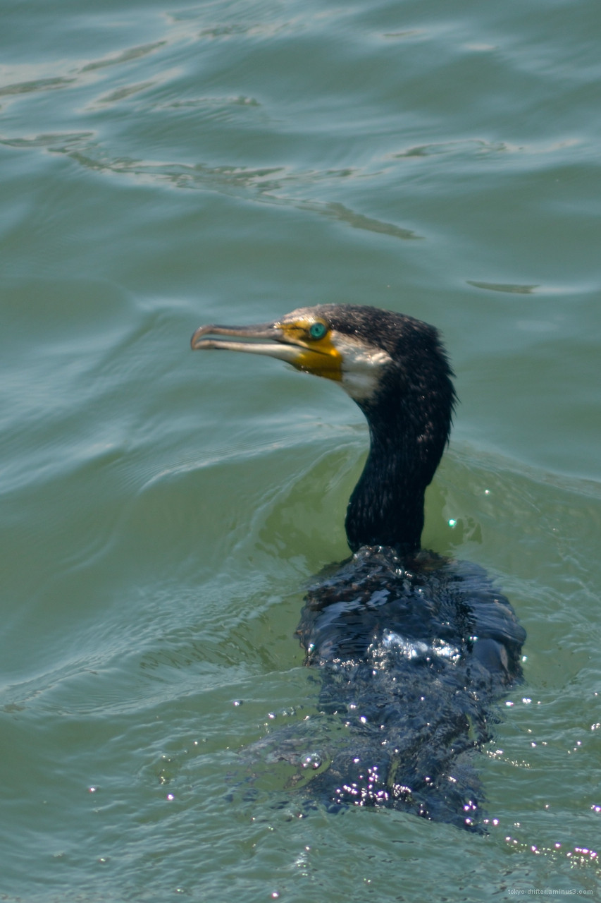 Cormorant seeks fish on the Sumida.