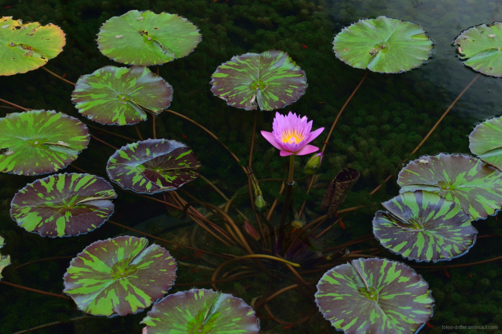 Lotuses blossom in pond in ultra-moden MBS